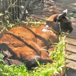 Kanga cat